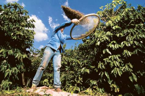 Coffee harvest in Brazil best in the world