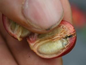 Coffee Berry Borer Beetle