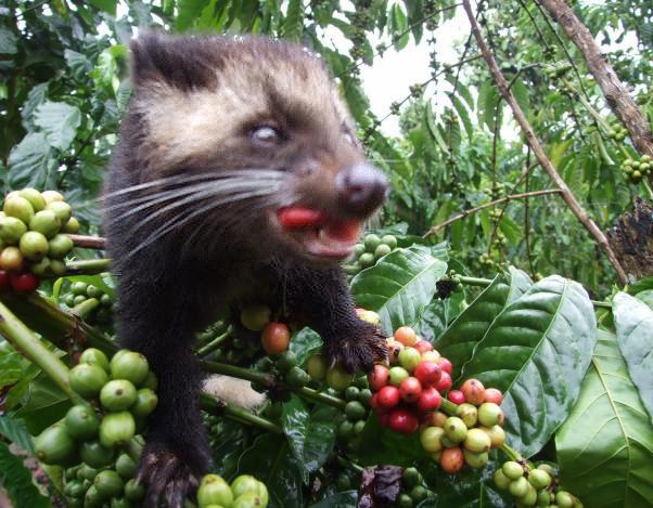 Kopi-Luwak-scowering for espresso coffee beans