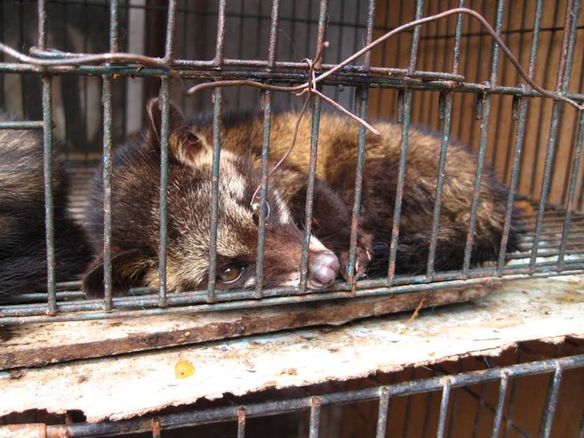 palm civet in captivity
