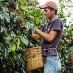 picking coffee cherries