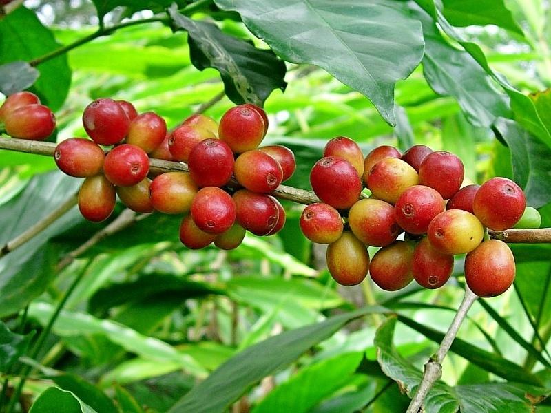 coffee Arabica-Plant