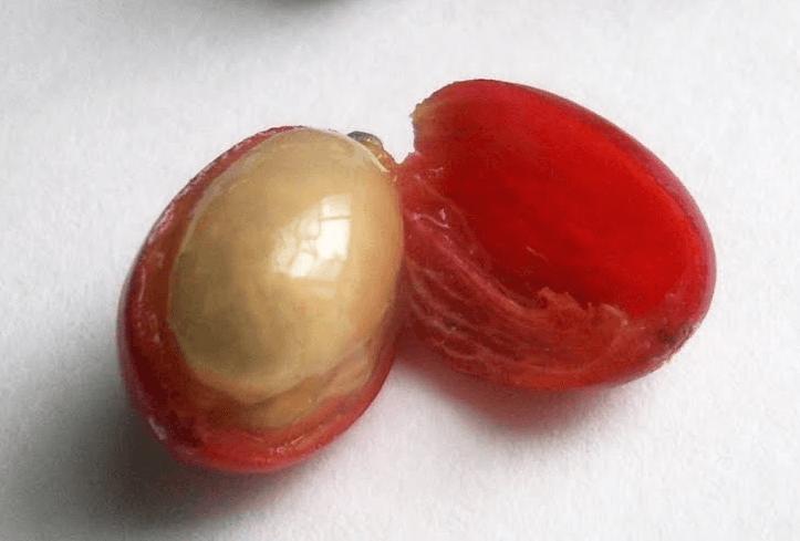 coffee arabica berry cut open