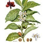 The Coffee Arabica Plant