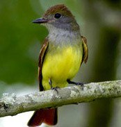 mexican Great-crested-flycatcher